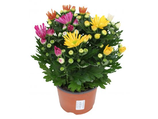 Chrysanthemum 'Rock n Roll'® (T 14)