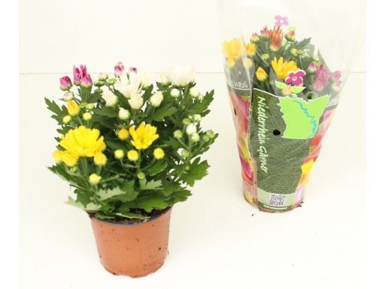 Chrysanthemum 'Rock n Roll'® (T 12)