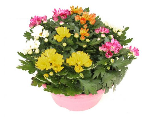 Chrysanthemum 'Rock n Roll'® Schale (T 14)